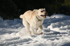 Κίτρινο σκυλί του Λαμπραντόρ που χρεώνει μέσω του χιονιού Στοκ εικόνες με δικαίωμα ελεύθερης χρήσης