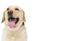 Κίτρινο σκυλί του Λαμπραντόρ με τη γλώσσα έξω Στοκ Φωτογραφίες