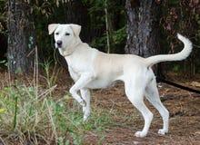 Κίτρινο σκυλί φυλής του Λαμπραντόρ μικτό Retriever Στοκ Φωτογραφίες