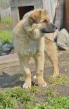 Κίτρινο σκυλί 17 Στοκ Εικόνες