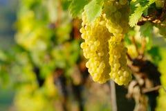Κίτρινο σταφύλι κρασιού στοκ εικόνες