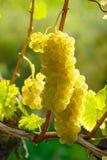 Κίτρινο σταφύλι κρασιού στοκ φωτογραφίες