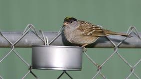 Κίτρινο στεμμένο σπουργίτι στο κατ' οίκον γίνοντα κατώφλι άγριος τροφοδότης πουλιών Στοκ Φωτογραφία