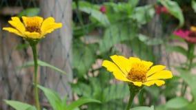 Κίτρινο στενό φύλλο Zinnia στον κήπο απόθεμα βίντεο
