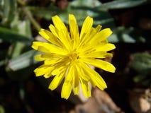Κίτρινο συμμετρικό λουλούδι την άνοιξη στοκ φωτογραφίες με δικαίωμα ελεύθερης χρήσης