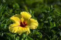 Κίτρινο της Χαβάης Hybiscus Στοκ φωτογραφία με δικαίωμα ελεύθερης χρήσης