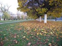 Κίτρινο τοπίο φθινοπώρου Δέντρα με τα κίτρινα φύλλα των διάφορων σκιών στο πάρκο στοκ εικόνα