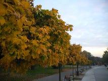 Κίτρινο τοπίο φθινοπώρου Δέντρα με τα κίτρινα φύλλα των διάφορων σκιών στο πάρκο στοκ φωτογραφίες με δικαίωμα ελεύθερης χρήσης