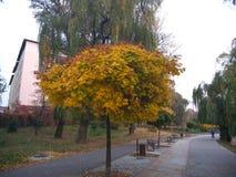 Κίτρινο τοπίο φθινοπώρου Δέντρα με τα κίτρινα φύλλα των διάφορων σκιών στο πάρκο στοκ φωτογραφίες