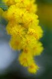 Κίτρινο τρυφερό mimosa στο χρόνο άνοιξη Στοκ Εικόνες