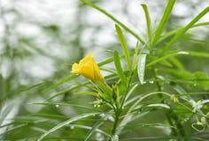 Κίτρινο τυχερό καρύδι oleander Στοκ φωτογραφία με δικαίωμα ελεύθερης χρήσης