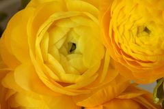 Κίτρινο υπόβαθρο λουλουδιών anemone Στοκ φωτογραφία με δικαίωμα ελεύθερης χρήσης