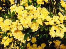 Κίτρινο υπόβαθρο λουλουδιών άνοιξη Στοκ Εικόνες