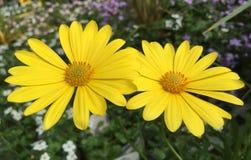 Κίτρινο υπόβαθρο λουλουδιών calliopsis Στοκ φωτογραφίες με δικαίωμα ελεύθερης χρήσης