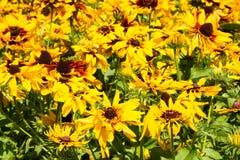 Κίτρινο υπόβαθρο λουλουδιών echinacea στοκ εικόνα με δικαίωμα ελεύθερης χρήσης