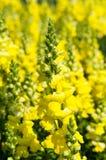 Κίτρινο υπόβαθρο λουλουδιών Snapdragon/Antirrhinum Στοκ Εικόνες