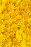 Κίτρινο υπόβαθρο πικραλίδων Φωτεινή ταπετσαρία άνοιξη Κεφάλια πικραλίδων στοκ φωτογραφία