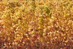 Κίτρινο υπόβαθρο σύστασης φύλλων αμπέλων το φθινόπωρο, φως του ήλιου Στοκ Φωτογραφία