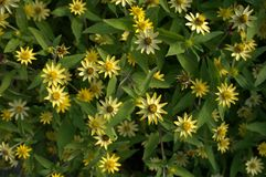 Κίτρινο υπόβαθρο της Daisy Στοκ φωτογραφία με δικαίωμα ελεύθερης χρήσης