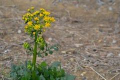 Κίτρινο υπόβαθρο Butterweed Στοκ φωτογραφία με δικαίωμα ελεύθερης χρήσης
