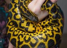 Κίτρινο φίδι στα χέρια γυναικών ` s Στοκ Εικόνες
