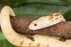Κίτρινο φίδι Στοκ Εικόνες