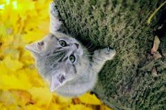 Κίτρινο φθινόπωρο και γκρίζα γάτα σε ένα δέντρο Στοκ Φωτογραφία