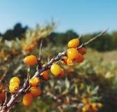 Κίτρινο φθινόπωρο φύσης μούρων Στοκ εικόνες με δικαίωμα ελεύθερης χρήσης