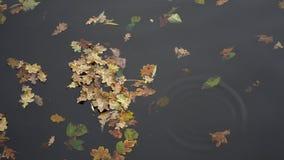 Κίτρινο φθινόπωρο φύλλων λακκούβας που επιπλέει στη λίμνη φιλμ μικρού μήκους