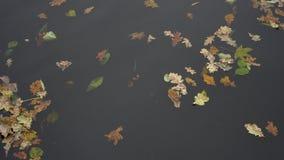 Κίτρινο φθινόπωρο φύλλων λακκούβας που επιπλέει στη λίμνη απόθεμα βίντεο