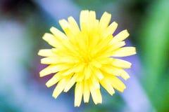 Κίτρινο φωτεινό λουλούδι Στοκ Εικόνα