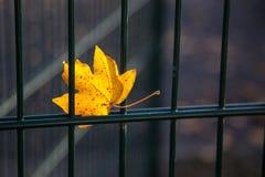 Κίτρινο φύλλο σφενδάμου που μπλέκεται σε ένα πλέγμα μετάλλων στοκ εικόνες
