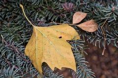 Κίτρινο φύλλο σφενδάμου στις βελόνες πεύκων Στοκ Εικόνα