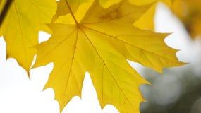 Κίτρινο φύλλο σφενδάμου Στοκ Φωτογραφίες