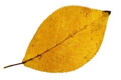 Κίτρινο φύλλο Στοκ Εικόνα