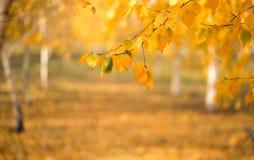 Κίτρινο φύλλωμα σημύδων φθινοπώρου Φθινόπωρο στη Νέα Αγγλία, ΗΠΑ στοκ εικόνα
