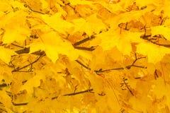 Κίτρινο φύλλωμα φθινοπώρου ως υπόβαθρο Στοκ Εικόνες