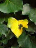 Κίτρινο φύλλο κισσών Στοκ φωτογραφίες με δικαίωμα ελεύθερης χρήσης