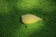 Κίτρινο φύλλο που επιπλέει το πράσινο φύκι Στοκ εικόνα με δικαίωμα ελεύθερης χρήσης