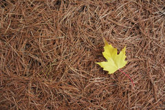 Κίτρινο φύλλο σφενδάμου στις άσπρες βελόνες πεύκων Στοκ Εικόνα