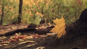 Κίτρινο φύλλο σφενδάμου στον αέρα απόθεμα βίντεο