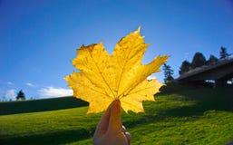 Κίτρινο φύλλο σφενδάμου στον ουρανό στο πάρκο Στοκ Εικόνα