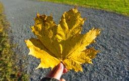Κίτρινο φύλλο σφενδάμου στο πάρκο Στοκ Εικόνες