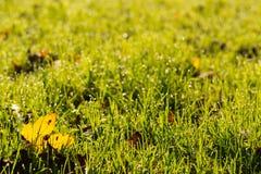 Κίτρινο φύλλο σφενδάμου στο backlight Στοκ εικόνες με δικαίωμα ελεύθερης χρήσης