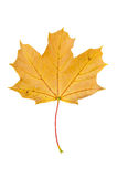 Κίτρινο φύλλο σφενδάμου φθινοπώρου που απομονώνεται στο άσπρο υπόβαθρο Στοκ φωτογραφία με δικαίωμα ελεύθερης χρήσης