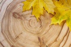 Κίτρινο φύλλο σφενδάμου δύο σε ένα κυκλικό αγριόπευκο περικοπών πριονιών στοκ εικόνα με δικαίωμα ελεύθερης χρήσης