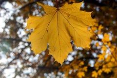 Κίτρινο φύλλο σφενδάμου Στοκ φωτογραφίες με δικαίωμα ελεύθερης χρήσης