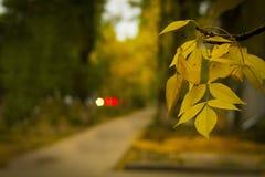 Κίτρινο φύλλο φθινοπώρου Στοκ Φωτογραφίες
