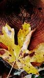 Κίτρινο φύλλο Στοκ Φωτογραφία