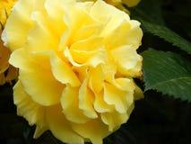 Κίτρινο χνουδωτό λουλούδι Στοκ Φωτογραφίες